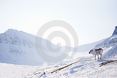 Reindeer on Winter Landscape