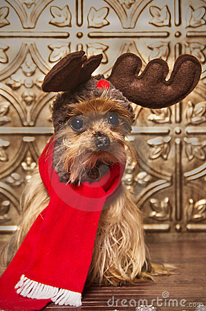 Reindeer yorkshire terrier dog