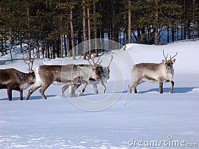 Reindeers-02