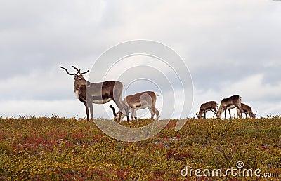 Reindeers browsing in the fields
