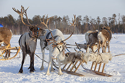Reindeers in harness