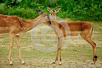 Reindeers,mother and her kid