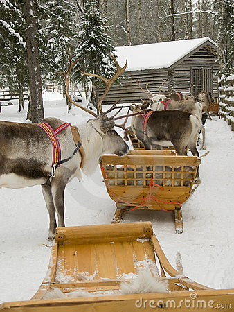 Reindeers with sleds