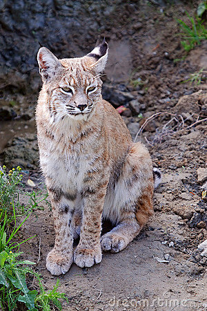 Relax lynx