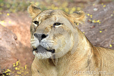 Relaxed African lion staring