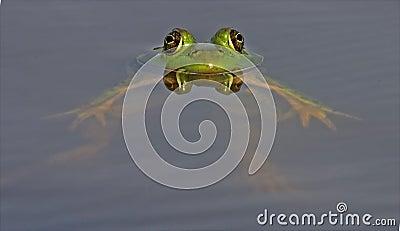 Relaxed Floating Bull Frog