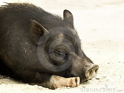 Relaxed pig
