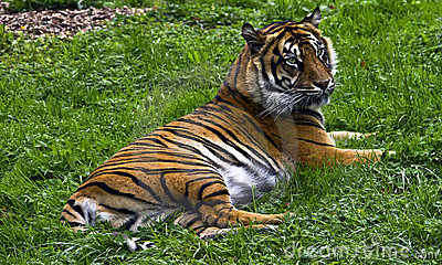 Relaxing Tiger
