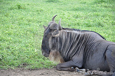 Relaxing wildebeest