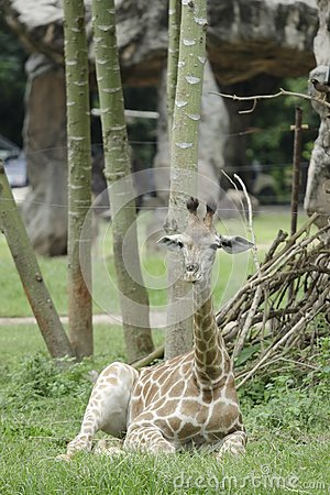 Relaxing young giraffe