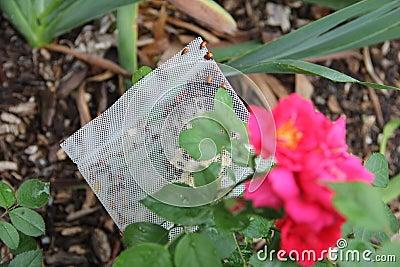 Organic Gardening with Ladybugs