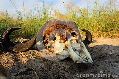Remains of Buffalo Skull spotlighted by the African sun lay in grasslands