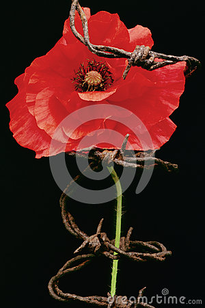 Free Remembrance Day, Poppy Metaphor Stock Photos - 33150293