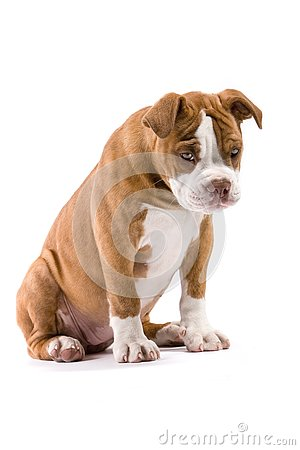 renasance bulldog renaissance bulldog royalty free stock photos image 4450188 5624