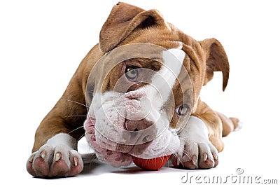 Renaissance Bulldog dog