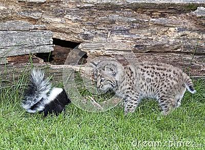 Rencontre étroite - mouffette contre le chat sauvage