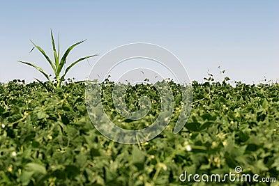 Renegade crop