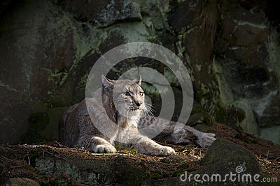 Repos de chat sauvage