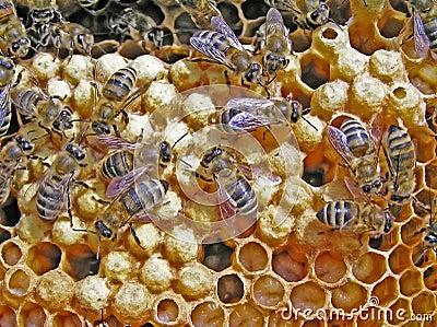 Reproduction des abeilles