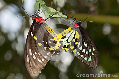Reproduction: Mating Butterflies