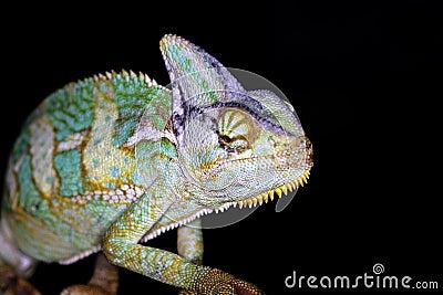 Reptiles - chameleon