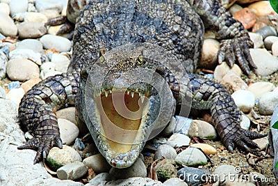 Reptiles, freshwater crocodiles