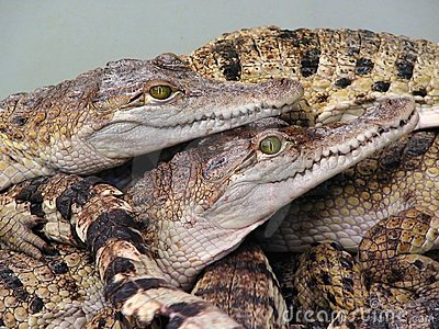 Reptiles orgy?