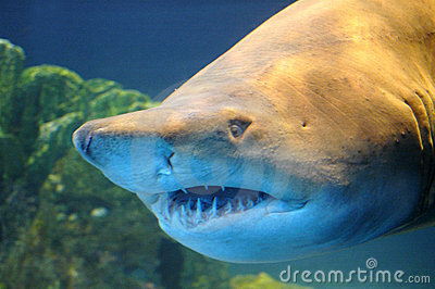 Requin.