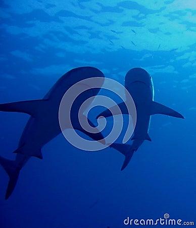 Requins des Caraïbes de récif