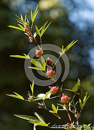 Reselle czerwony kobylak