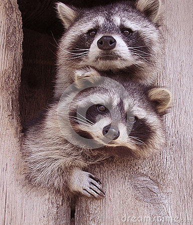 Free Resplendent Raccoons Stock Photos - 33447813