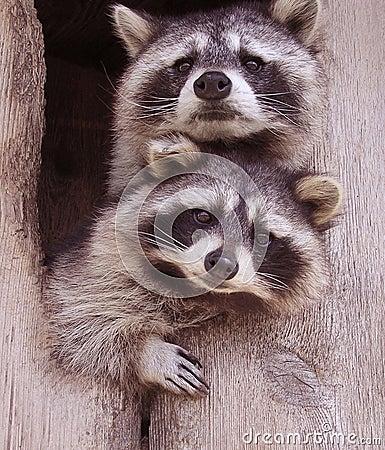 Resplendent Raccoons