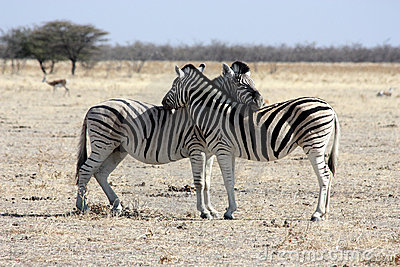 The rest of zebras