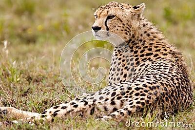 Resting Alone Cheetah