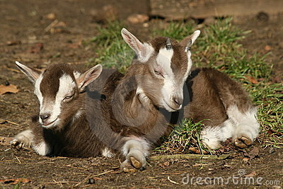 Resting baby goats