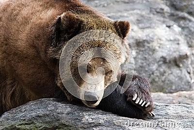 Resting Bear