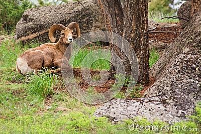 Resting Bighorn Sheep Ram