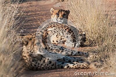Resting Cheetahs