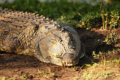 A resting Crocodile
