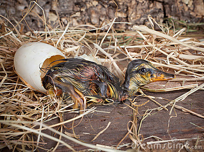 Resting duckling after hatch