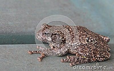 Resting Gray Tree Frog
