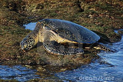 Resting Hawaiian Green Sea Turtle