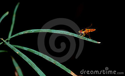 Resting hover fly