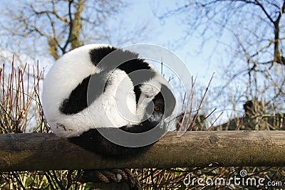 Resting Lemur