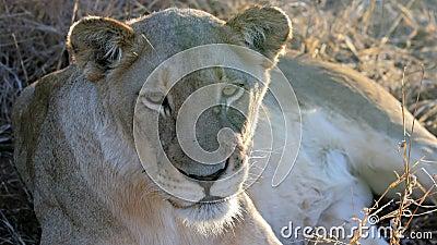 Resting lioness, Krueger National Park