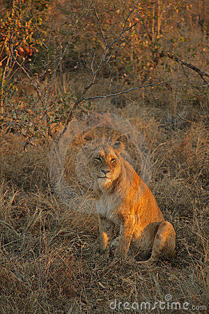Free Resting Lions Stock Images - 3370204