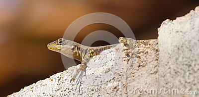 Resting lizard