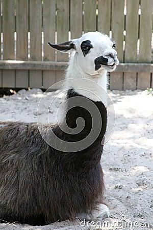Free Resting Llama Royalty Free Stock Photo - 2853095