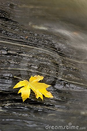 Resting Maple Leaf