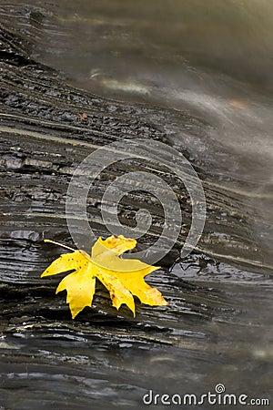 Resting Maple Leaf